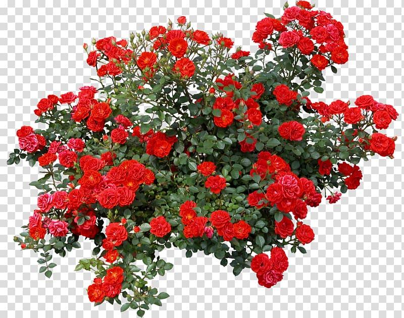 Rose shrub bushes red. Bush clipart transparent flower