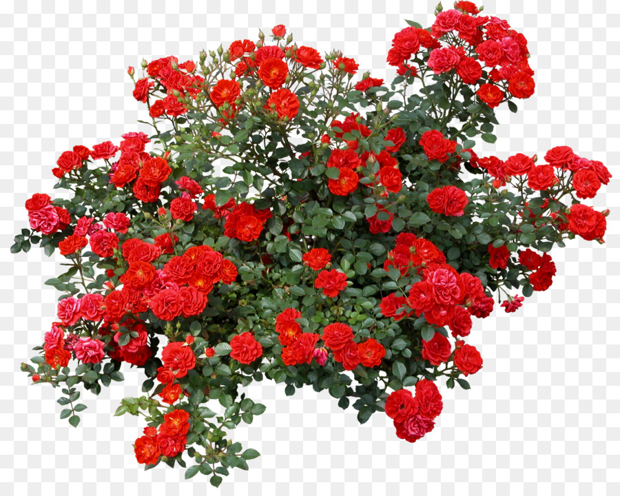Rose shrub clip art. Bush clipart transparent flower