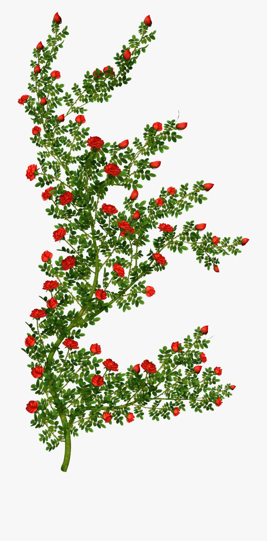 Rosebush picture rose no. Bush clipart transparent flower