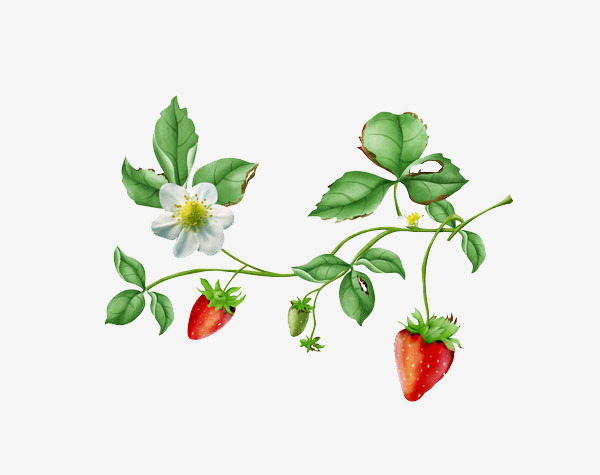 Strawberry plants red fruit. Bushes clipart berry