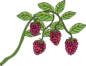 Bushes clipart berry. Free rasberries image food