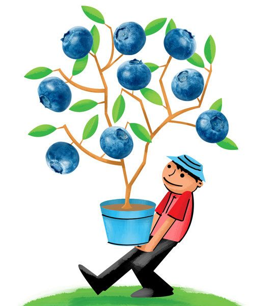 Bushes clipart blueberry. Can produce five to