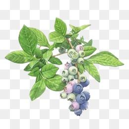 Berry bush png transparent. Bushes clipart blueberry
