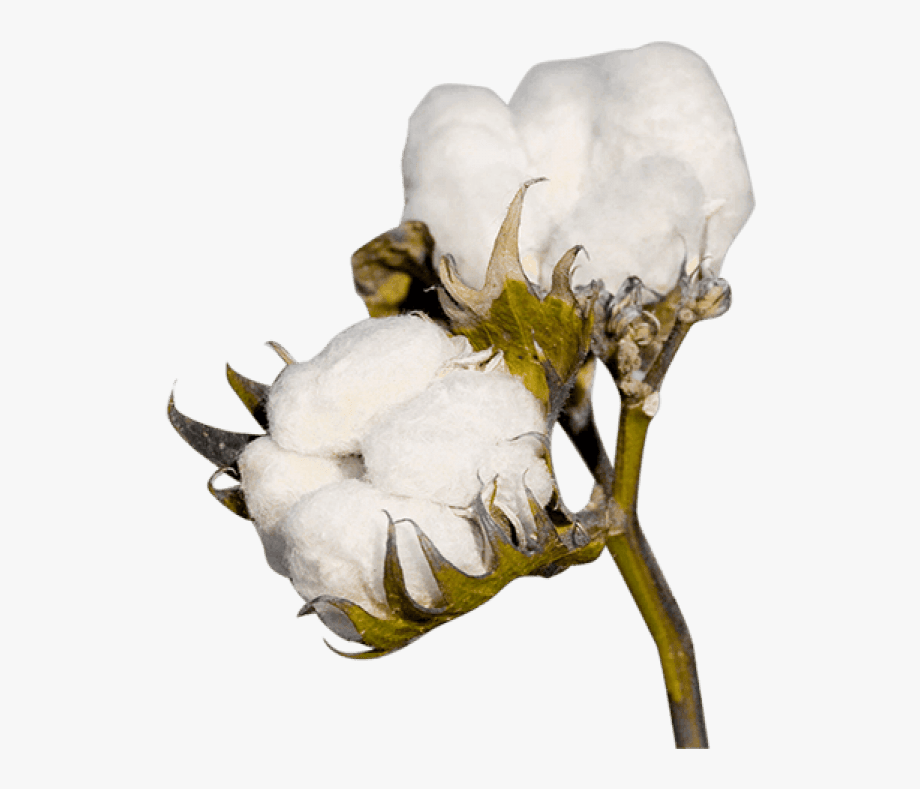 Png plant transparent . Cotton clipart cartoon
