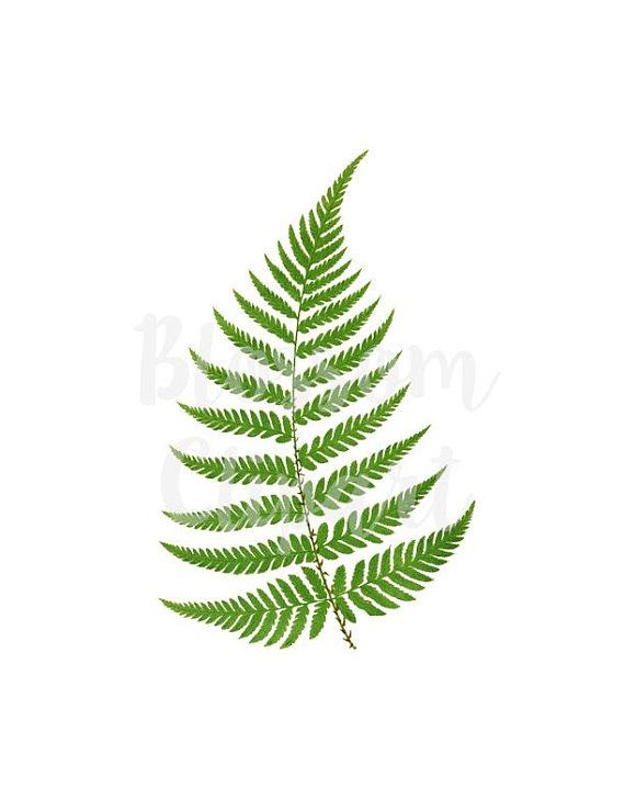 Bushes clipart fern. Free on dumielauxepices net