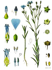 Linen plant for spinning. Bush clipart flax