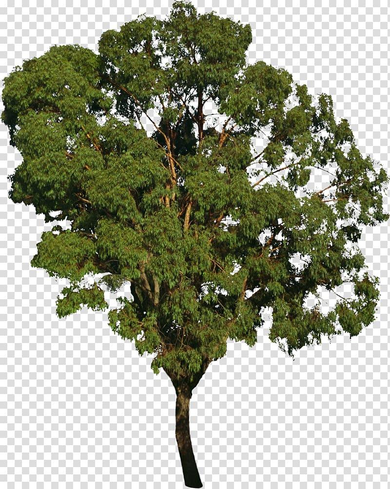 Tree bonsai deciduous transparent. Bushes clipart forest