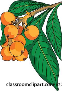 Plants loquat plant classroom. Bushes clipart fruit