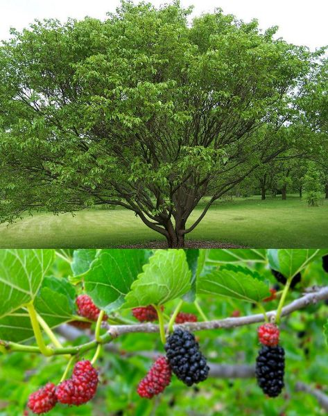 best pyramus and. Bushes clipart mulberry bush