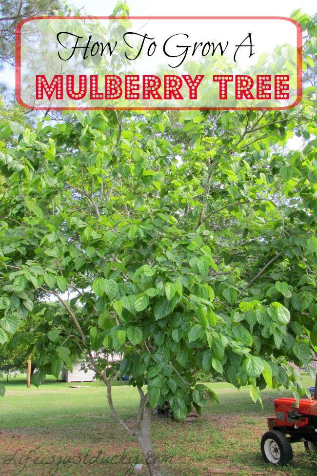 best fruit trees. Bushes clipart mulberry bush