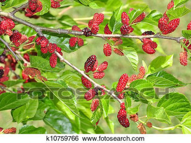 Free download clip art. Bushes clipart mulberry bush