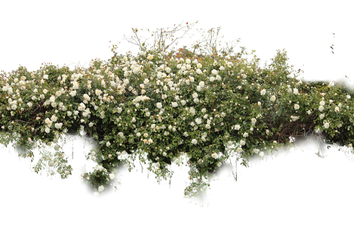 Download shrub free png. Bushes clipart paint