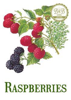 Vintage blueberry print digital. Bushes clipart raspberry