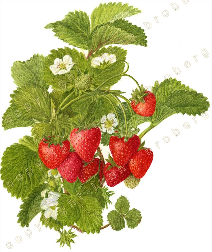 Bushes clipart raspberry.  best frutas e
