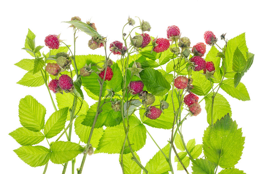 Bushes clipart raspberry.  collection of plant