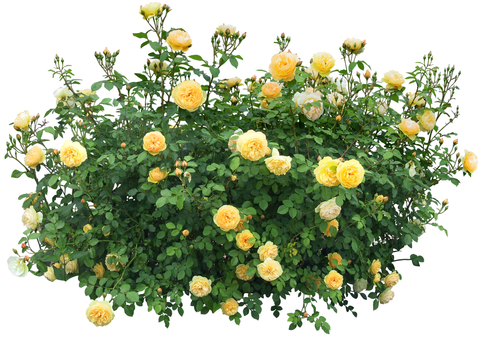Bushes png images free. Rose clipart shrub