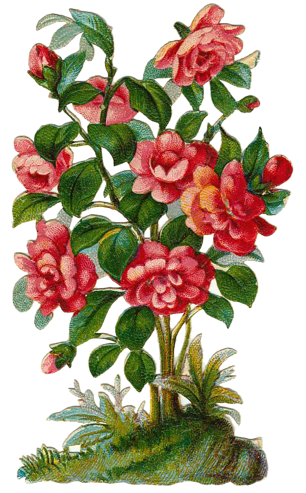 Plant . Clipart roses rose bush
