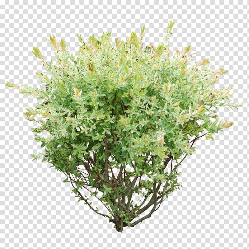 Green leafed plant bush. Bushes clipart shrub