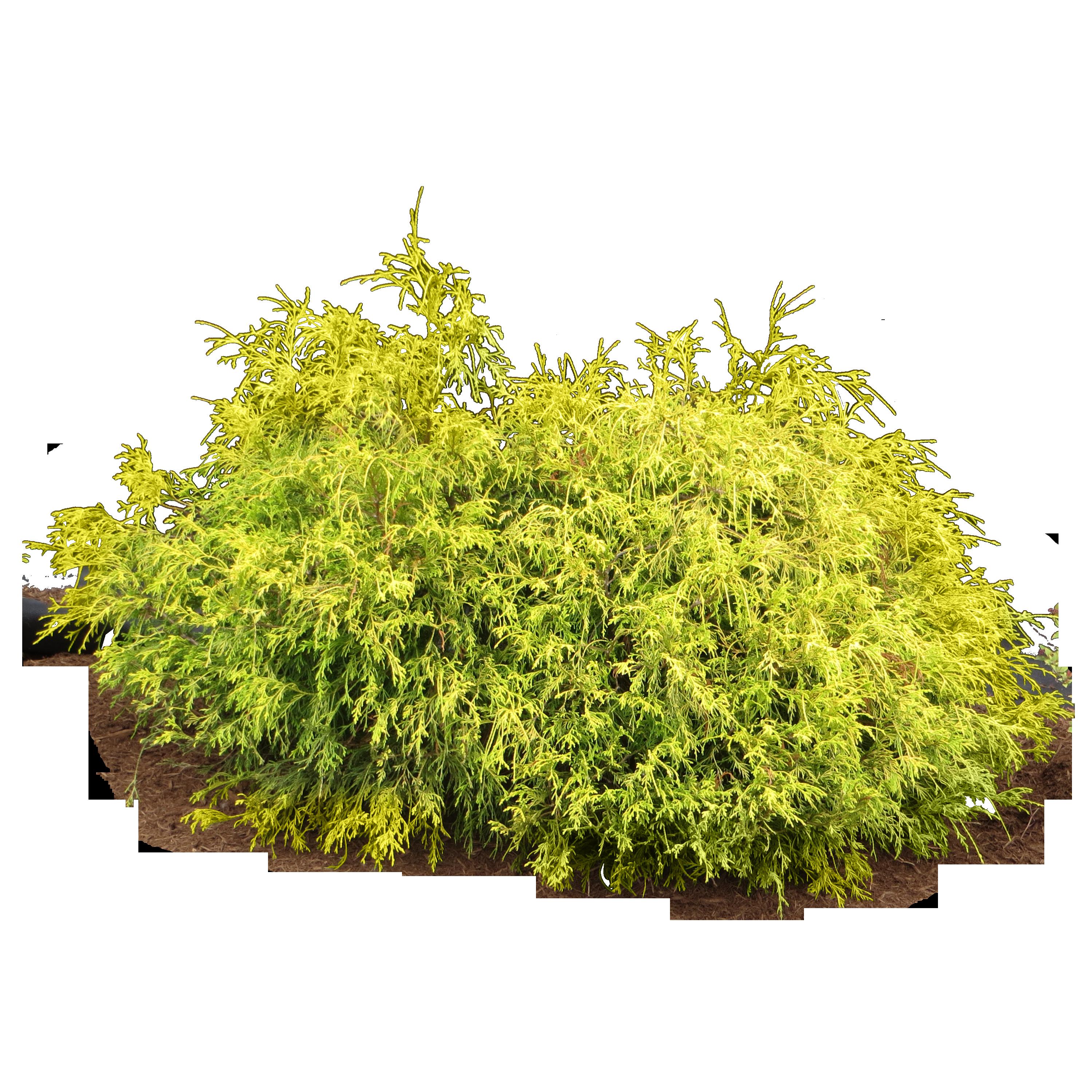 Bushes clipart shrubbery. Shrub png google search