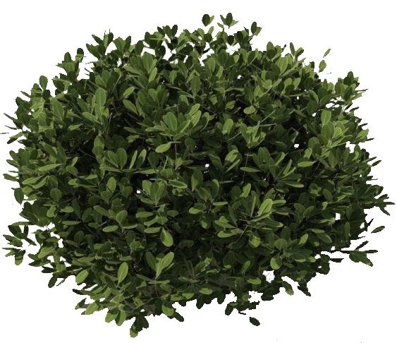 Bushes clipart shrubbery. Png image entourage vegetation