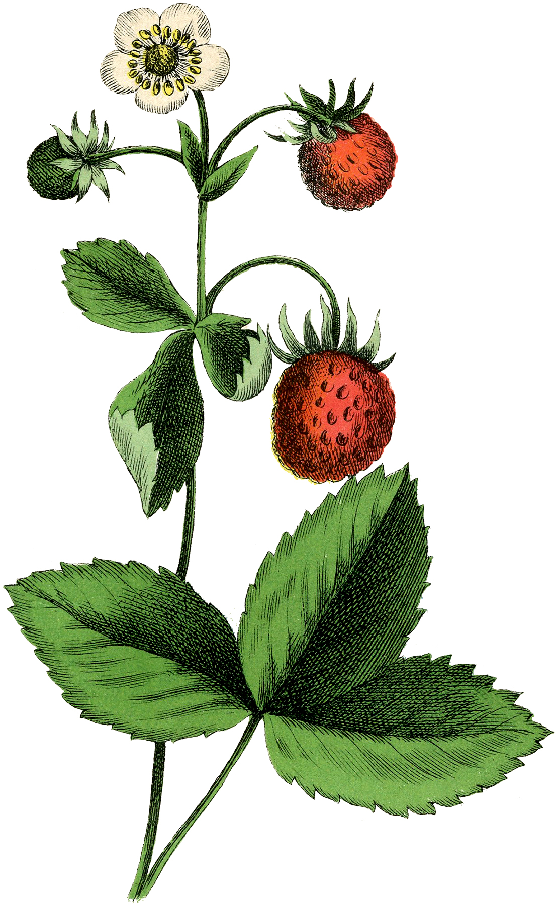 Strawberries clipart vintage strawberry. Beautiful plant image the