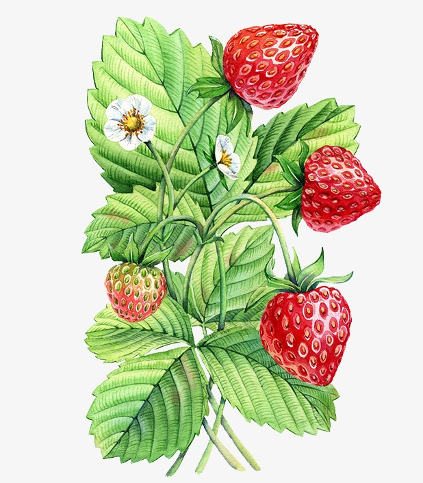 Hand painted plants plant. Bushes clipart strawberry
