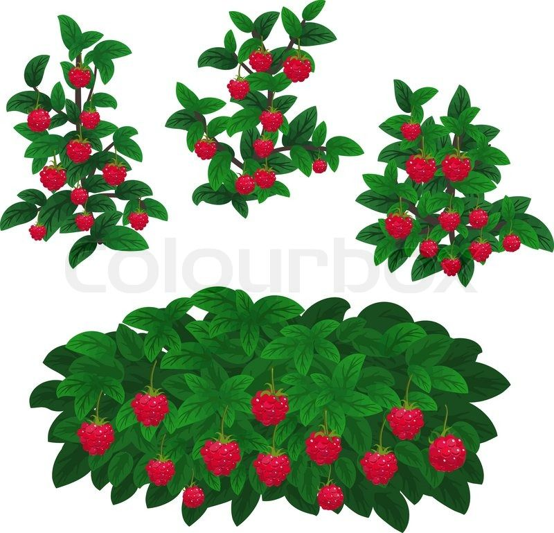 Bushes clipart strawberry. Stock vector of raspberry