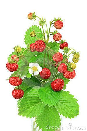 Pictures of wild plants. Strawberries clipart strawberry plant