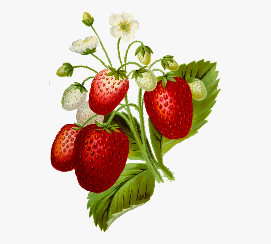 Strawberrry no . Strawberries clipart strawberry plant