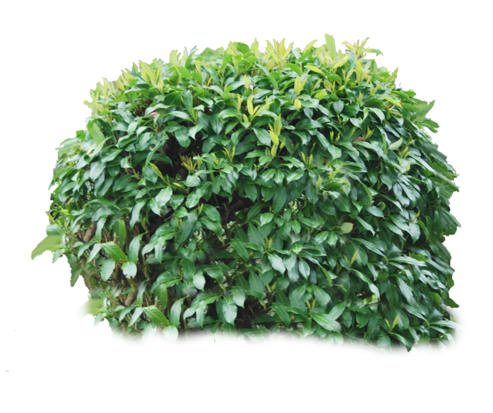 Grass clipart shrub. Bushes png images free