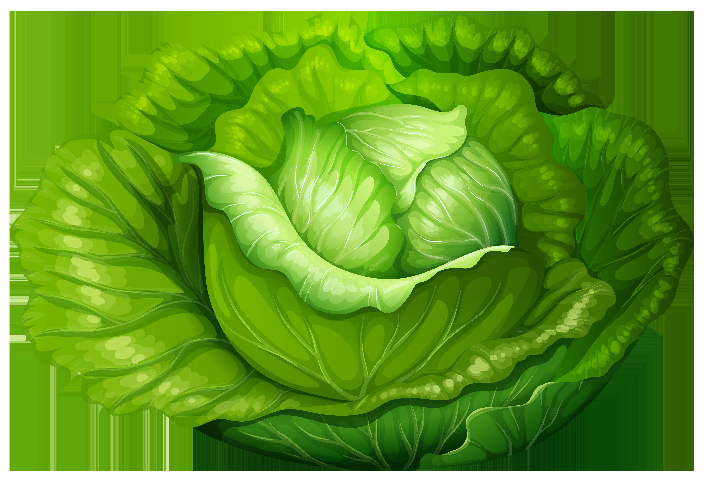 Lettuce clipart kangkong. Cabbage png clip art