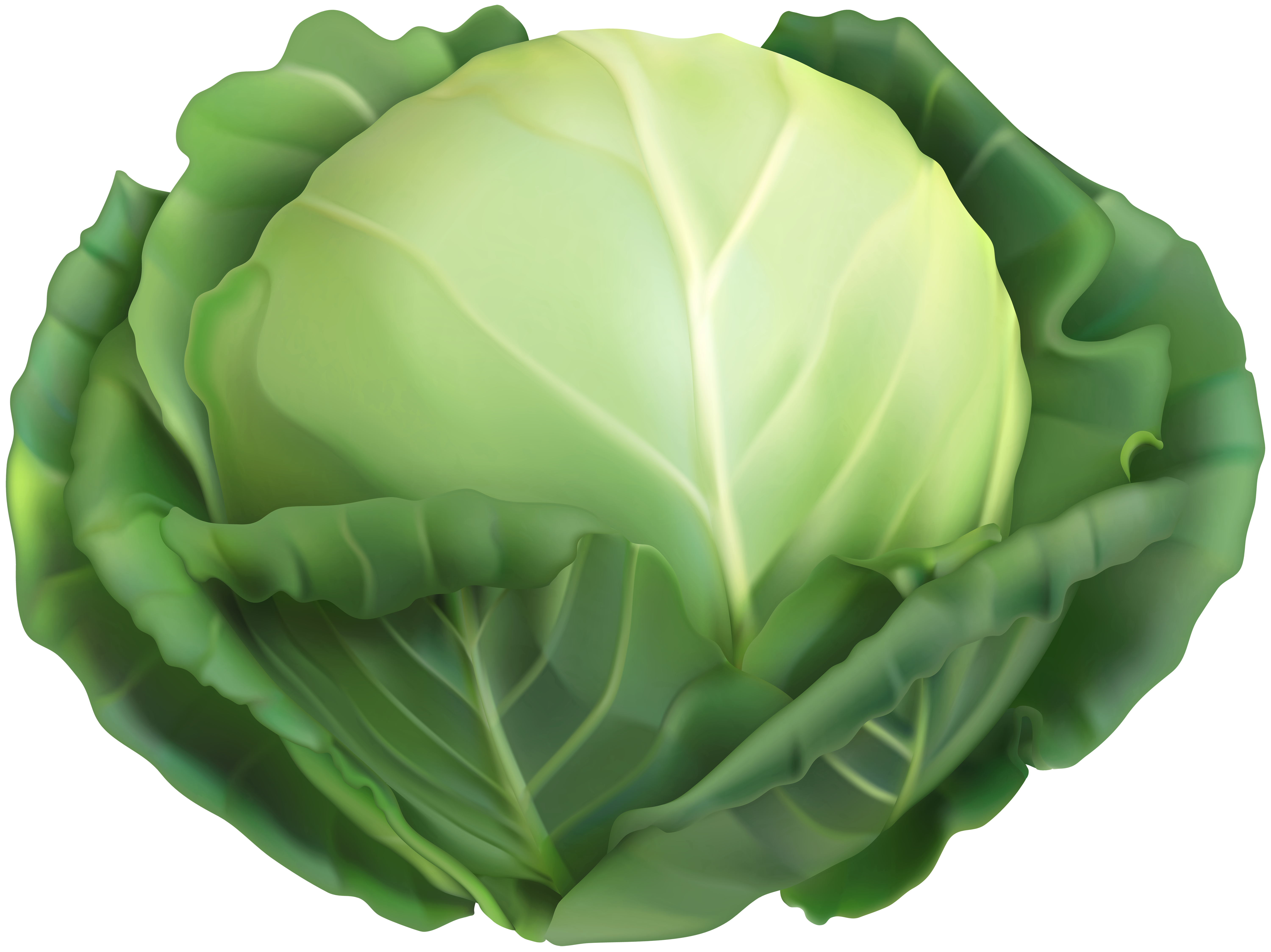 Cabbage clipart. Png clip art image