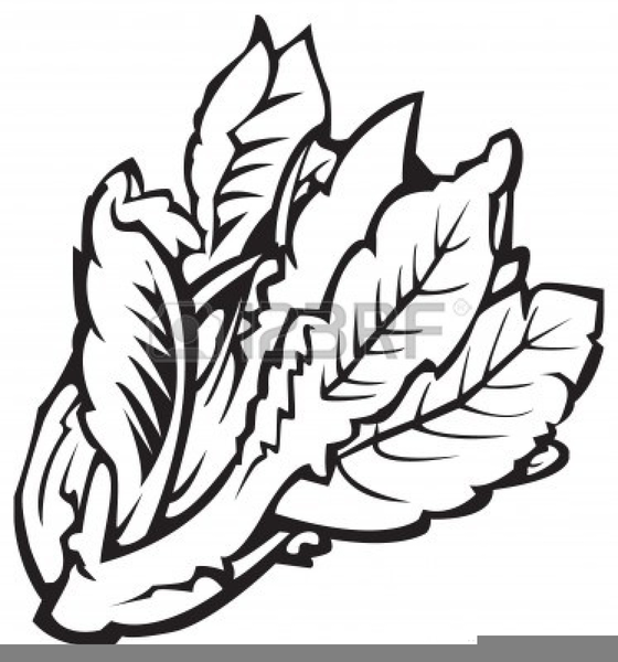 Cabbage clipart black and white. Free images at clker