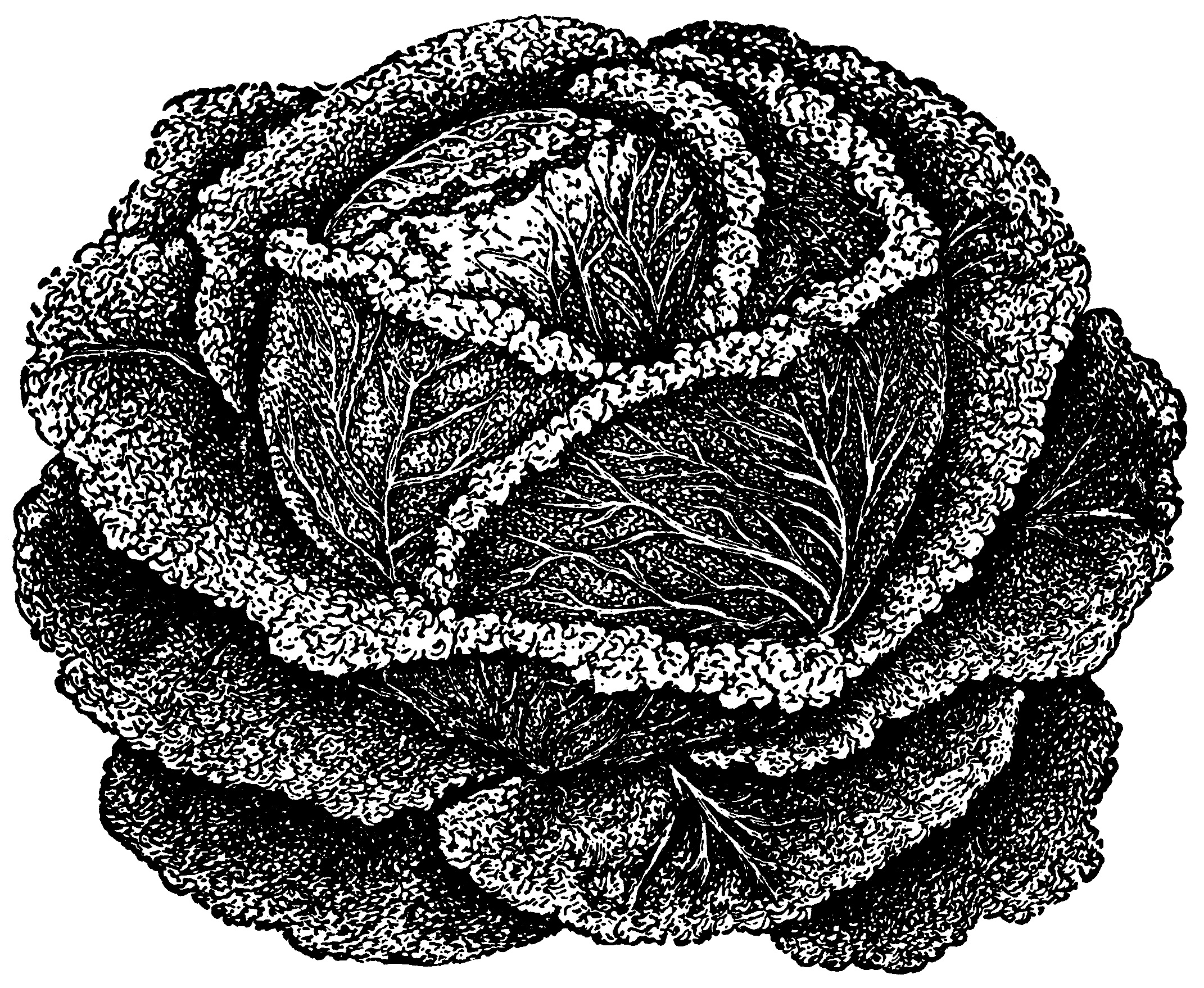 Clip art old design. Cabbage clipart black and white