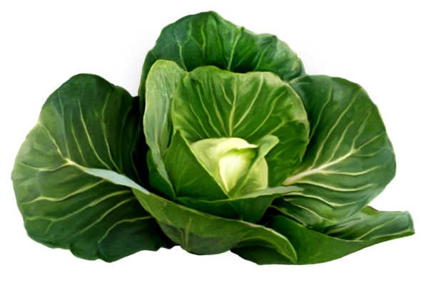 Cabbage clipart cabagge. Picture stickers pinterest clip