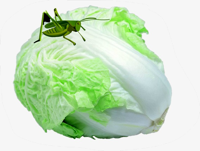 Cabbage clipart cabbage chinese. Vegetables png image and