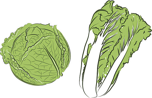 cabbage clipart cabbage chinese