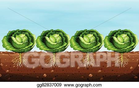 Cabbage clipart cabbage plant. Clip art vector plants