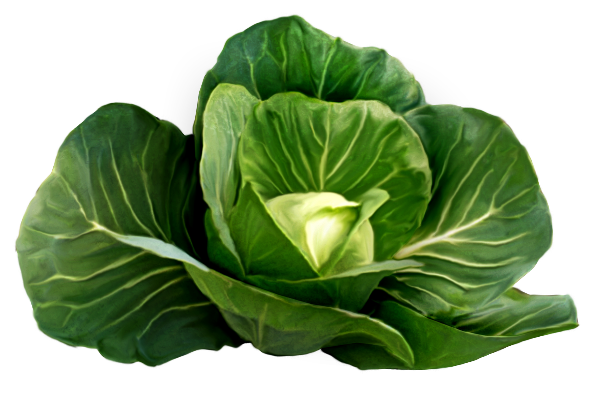 Vegetables fruits veggies . Cabbage clipart cabbage plant
