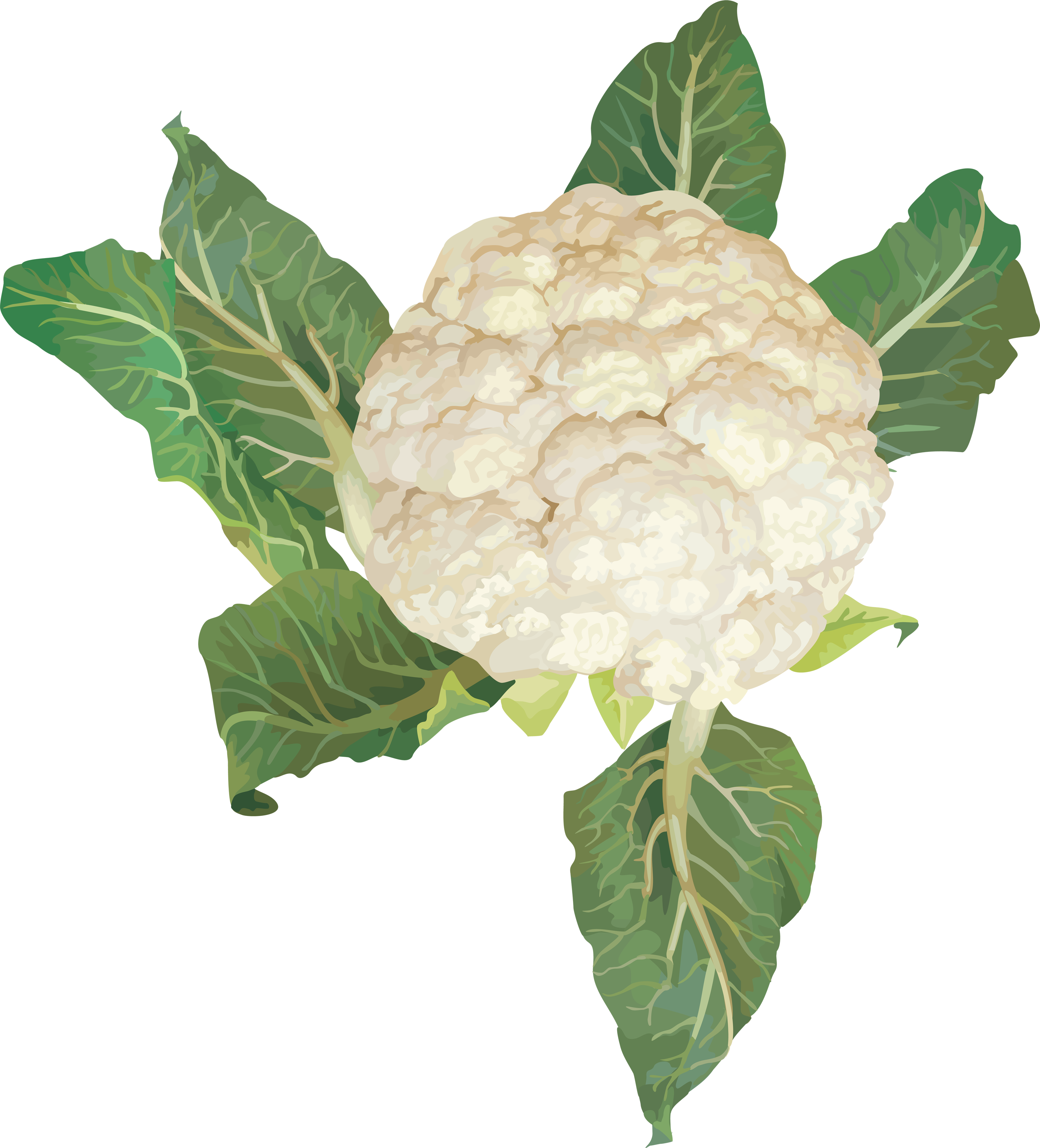 Png image free download. Cabbage clipart cauliflower