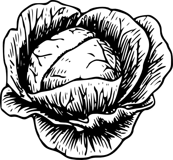 Clip art free vector. Cabbage clipart drawing
