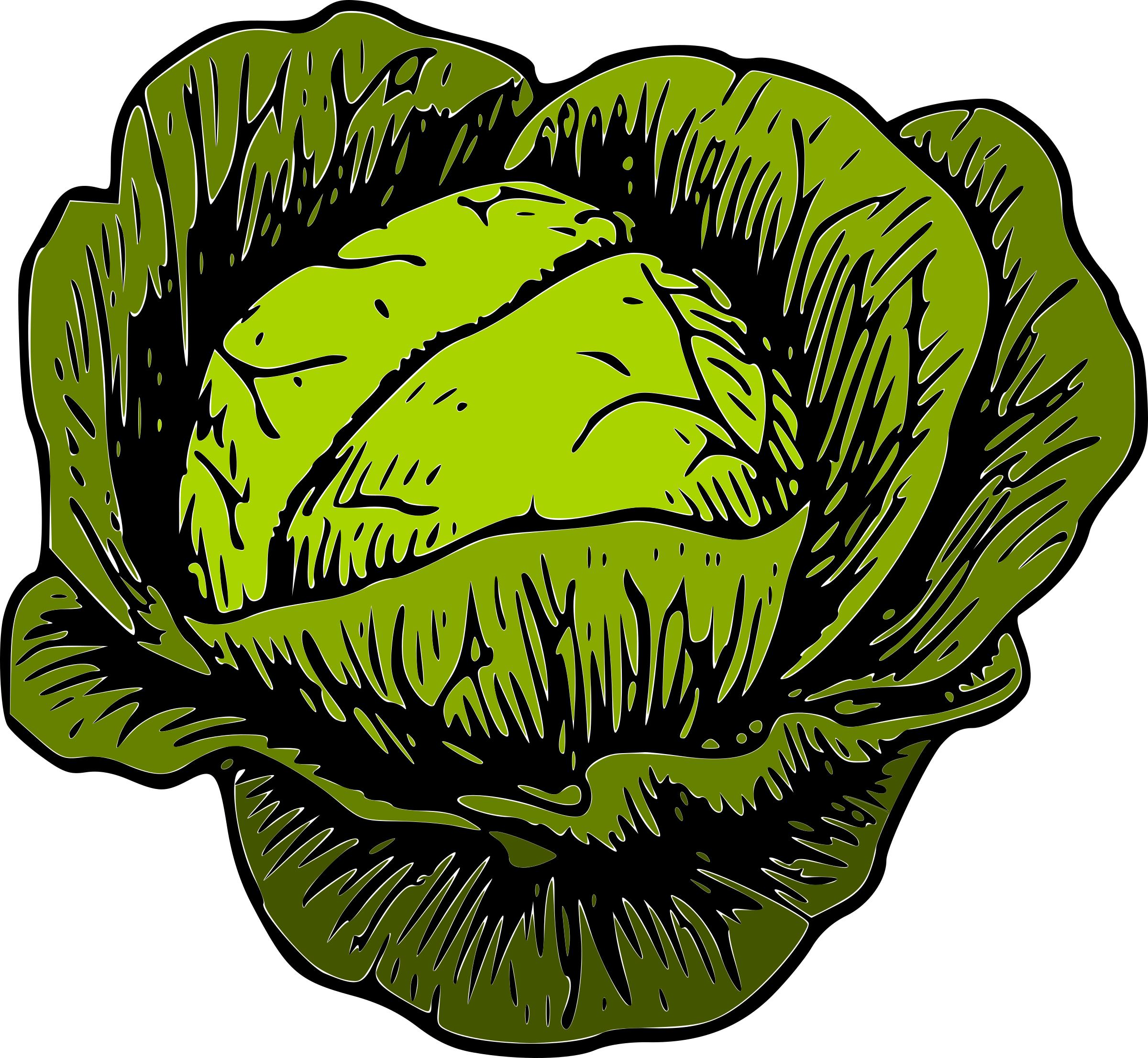 cabbage clipart green cabbage