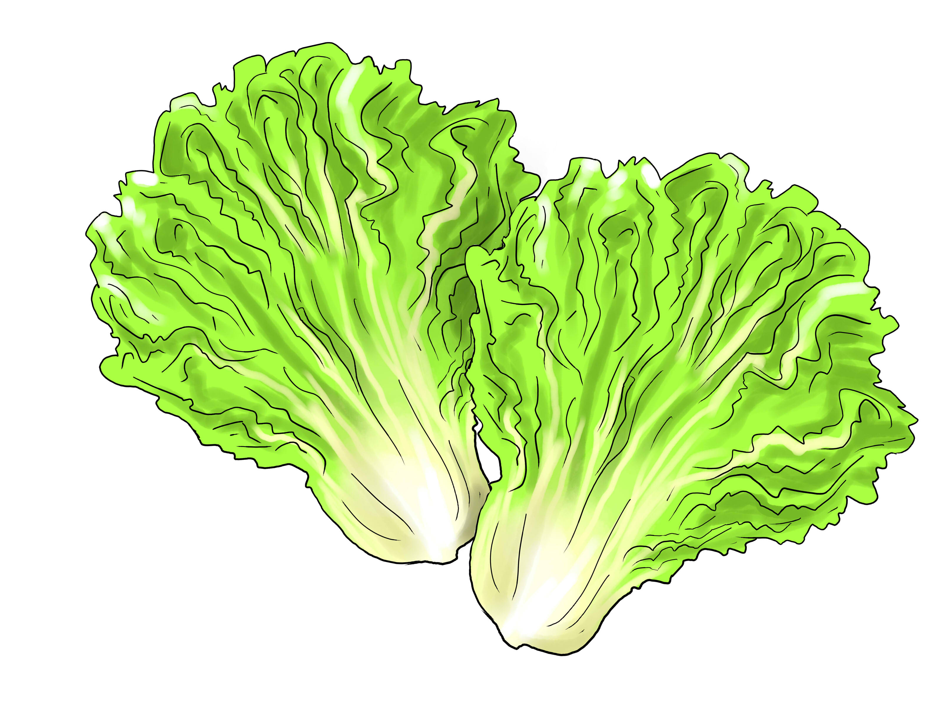 Lettuce clipart.  collection of leaf