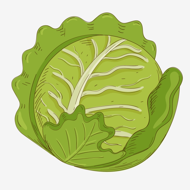 Lettuce clipart cabbage. Hand painted