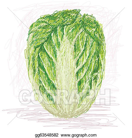 Cabbage clipart napa cabbage. Vector stock illustration gg