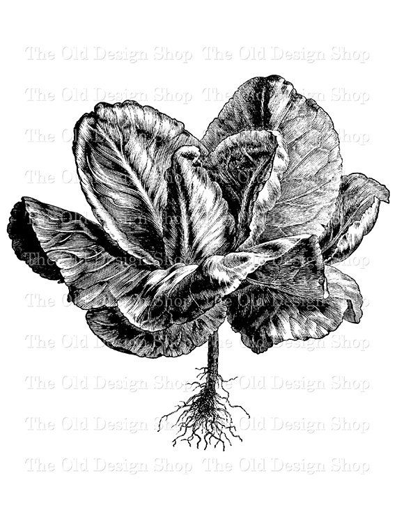 Cabbage clipart printable. Early york botanical clip
