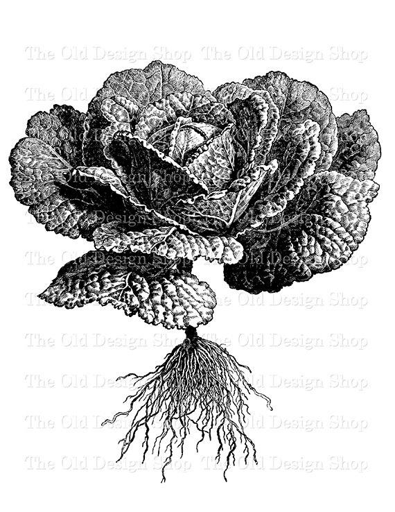 Cabbage clipart printable. Savoy botanical clip art