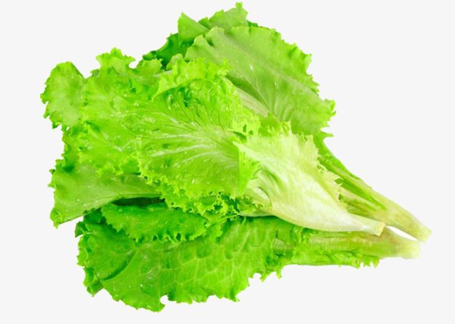 Lettuce leaves vegetables . Cabbage clipart salad leave
