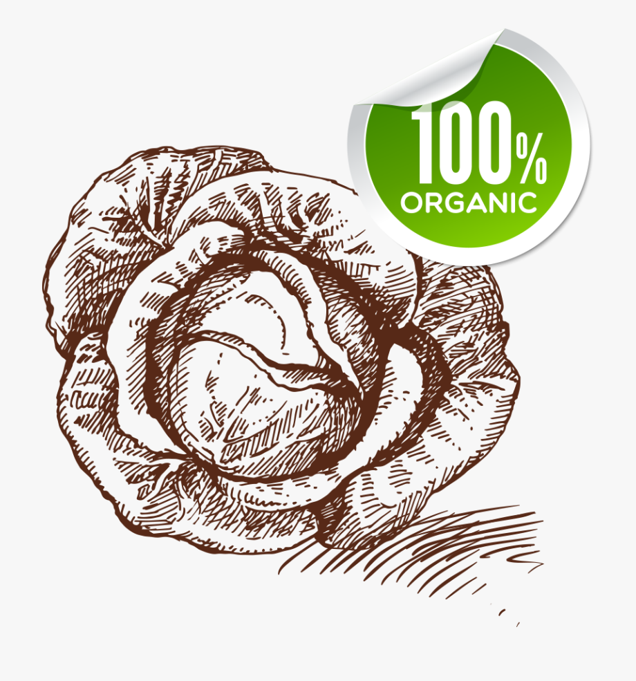 Drawing free cliparts on. Cabbage clipart sketch