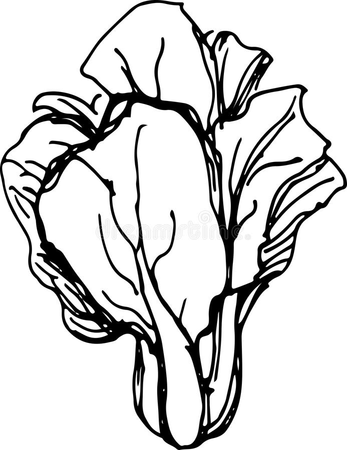 Cabbage clipart sketch. Drawing free download best